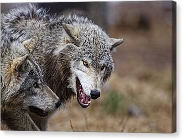 Canvas Print featuring the photograph Timber Wolves by Michael Cummings