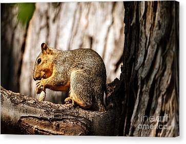 Fox Squirrel Canvas Print - Time For A Peanut by Robert Bales