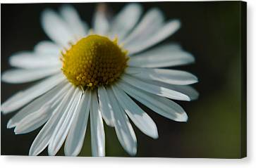Canvas Print featuring the photograph Tiny Daisy Wild Flower by Karen Musick
