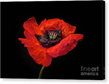 Living-room Canvas Print - Tiny Dancer Poppy by Toni Chanelle Paisley