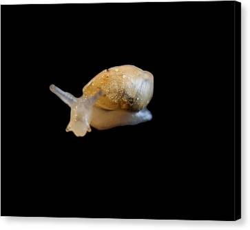 Canvas Print featuring the photograph Tiny Snail by Maggy Marsh