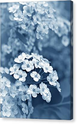 Tiny Spirea Flowers In Blue Canvas Print