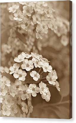 Tiny Spirea Flowers In Sepia Canvas Print