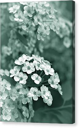 Tiny Spirea Flowers In Teal Canvas Print