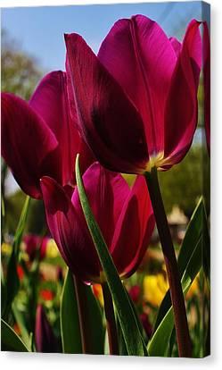 Tip Toe Through The Tulips Canvas Print