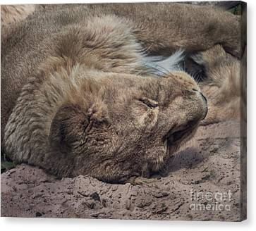 Tired Lion Canvas Print by Doc Braham