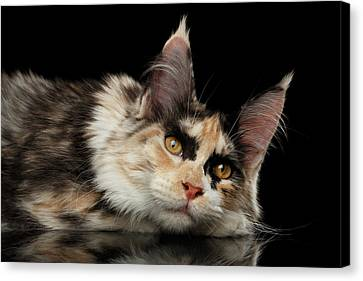 Cat Canvas Print - Tired Maine Coon Cat Lie On Black Background by Sergey Taran