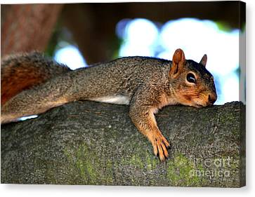 Tired Old Squirrel . R6622 Canvas Print by Wingsdomain Art and Photography