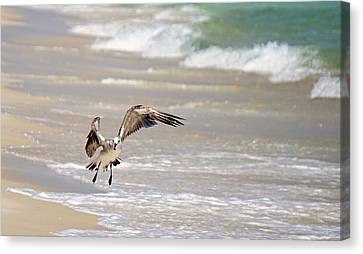 Tired Seagull Canvas Print by Brad Zimmerman