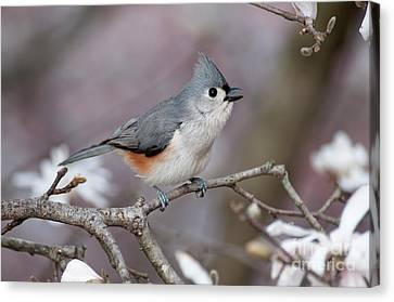 Canvas Print featuring the photograph Titmouse Song - D010023 by Daniel Dempster