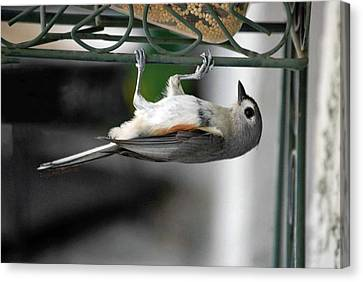 Titmouse Trickery Canvas Print by DigiArt Diaries by Vicky B Fuller