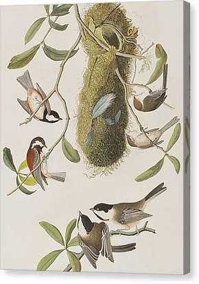 Titmouse Canvas Print - Titmouses by John James Audubon