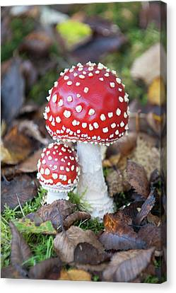 Toadstools In The Woods Vi Canvas Print