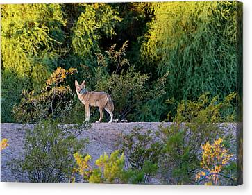 Today's Coyote Canvas Print