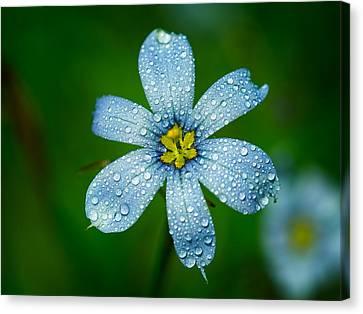 Top View Of A Blue Eyed Grass Flower Canvas Print