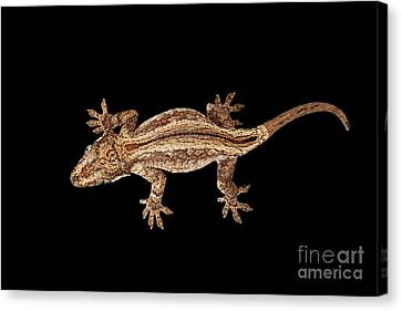 Reptiles Canvas Print - Top View Of Gargoyle Gecko, Rhacodactylus Auriculatus Staring Isolated On Black Background. Native T by Sergey Taran