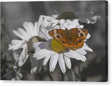 Topsail Butterfly Canvas Print by Betsy Knapp