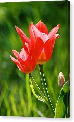 Toronto Tulip Canvas Print by Steve Karol