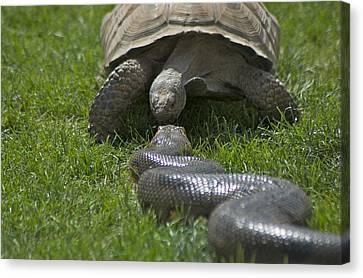 Tortoise Kissing An Anaconda Canvas Print by Susan Heller
