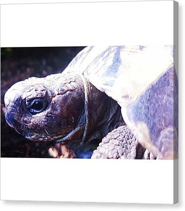#tortoise #torts #sunbathing #basking Canvas Print by Natalie Anne