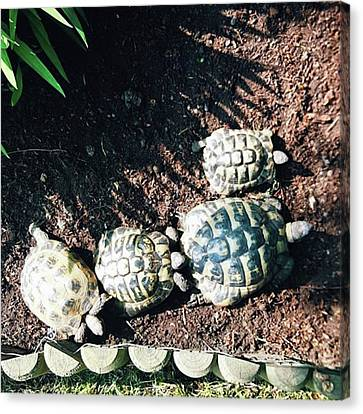 #torts #tortoise #sunbathing #shell Canvas Print by Natalie Anne
