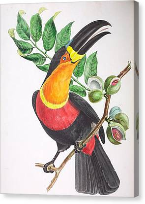 Toucan Ariel Canvas Print by Jean Theodore Descourtilz