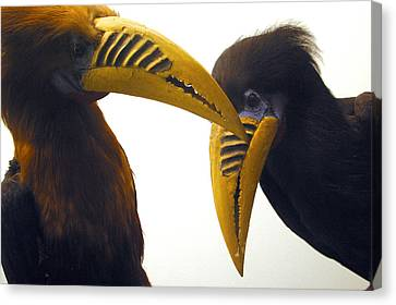Toucan Play At That Game Canvas Print by Jez C Self