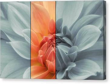 Touch Of Color Dahlia Canvas Print by Jacky Gerritsen