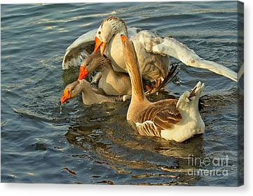 Toulouse Goose Clusterduck Canvas Print by Adam Jewell