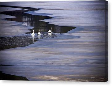 Tourist Swans Canvas Print by Albert Seger