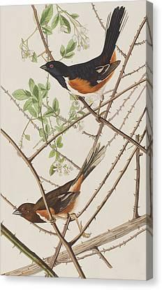 Bunting Canvas Print - Towhe Bunting by John James Audubon