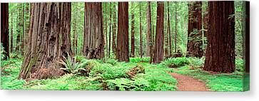 Trail, Avenue Of The Giants, Founders Canvas Print by Panoramic Images