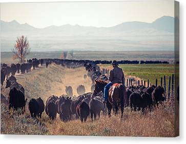Angus Steer Canvas Print - Trailing The Herd by Todd Klassy