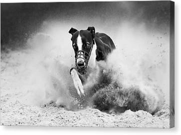 Training Greyhound Racing Canvas Print by Muriel Vekemans
