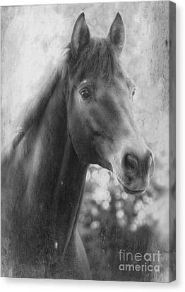 Trakehner Canvas Print by Clare Bevan