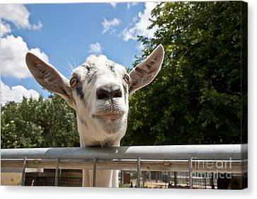 Transgenic Goat Peering Over Fence Canvas Print