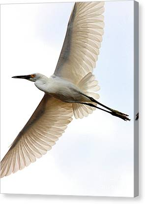 Transluscent Egret In Flight . 40d4992 Canvas Print by Wingsdomain Art and Photography