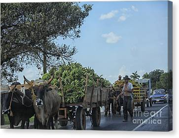Transporting Bananas In Cuba Canvas Print by Patricia Hofmeester