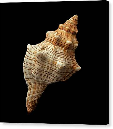 Trapezium Horse Conch Shell Canvas Print by Jim Hughes