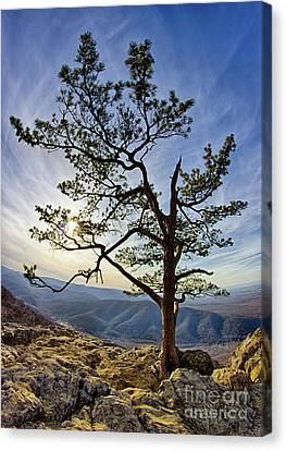 Tree And Rocks In The Blue Ridge Near Sunset Canvas Print by Dan Carmichael