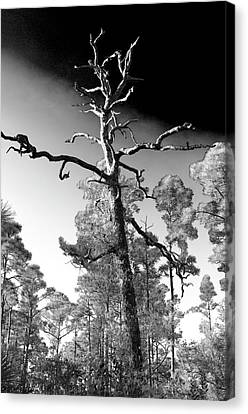 Canvas Print featuring the photograph Tree At Halpatiokee by Don Youngclaus