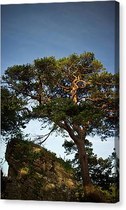 Tree At Maccarthy Mor Castle Canvas Print by Douglas Barnett