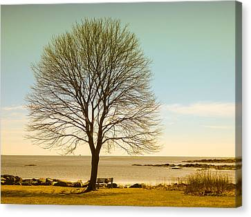 Tree At New Castle Common Canvas Print