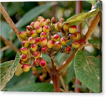 Tree Berries Canvas Print by Lauren  Macko