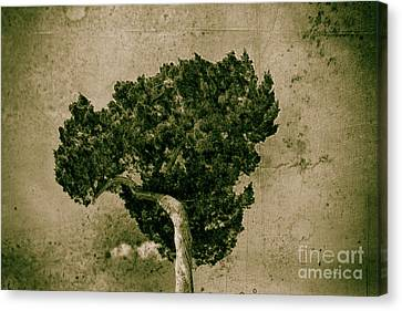 Tree Broccoli  Canvas Print by Steven Digman
