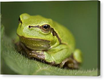 Tree Frog Cose Up Canvas Print by Roeselien Raimond