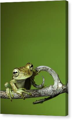 Frog Canvas Print - Tree Frog by Dirk Ercken