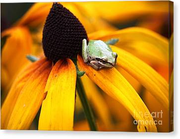Canvas Print - Tree Frog On Flower 2 by Nick Gustafson