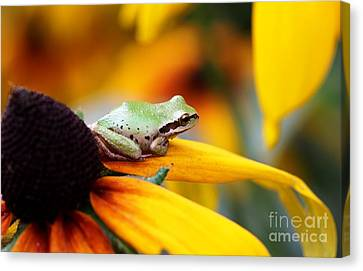 Canvas Print - Tree Frog On Yellow Flower by Nick Gustafson