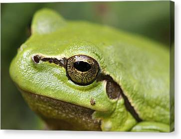 Concern Canvas Print - Tree Frog Portrait by Roeselien Raimond